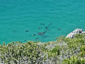 Seals at Robberg Island near Plettenberg Bay, 30 kms from Knysna